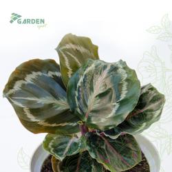 Roślina Calathea roseoptica 'Medallion' KALATEA substrat