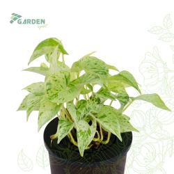 Roślina Epipremnum pinnatum 'Marble Queen' EPIPREMUM hydroponika