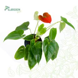 Roślina Anthurium Andreanum 'Successs Red' ANTURIUM ANDREGO hydroponika