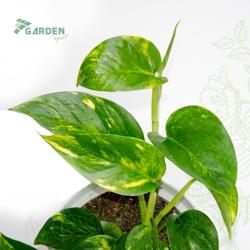 Roślina Epipremnum pinnatum 'Aureum' EPIPREMUM ZŁOCISTE
