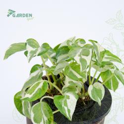 Roślina Epipremnum pinnatum 'N'Joy' EPIPREMUM