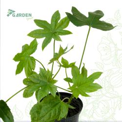 Roślina Fatsia japonica FATSJA JAPOŃSKA substrat