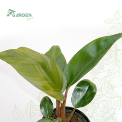 Roślina Philodendron 'Red Diamond' FILODENDRON substrat