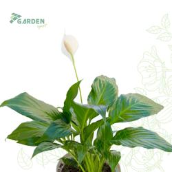 Roślina Spathiphyllum mix SKRZYDŁOKWIAT substrat