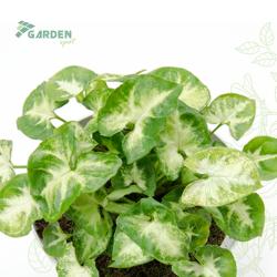 Roślina Syngonium 'Pixie' ZROŚLICHA substrat